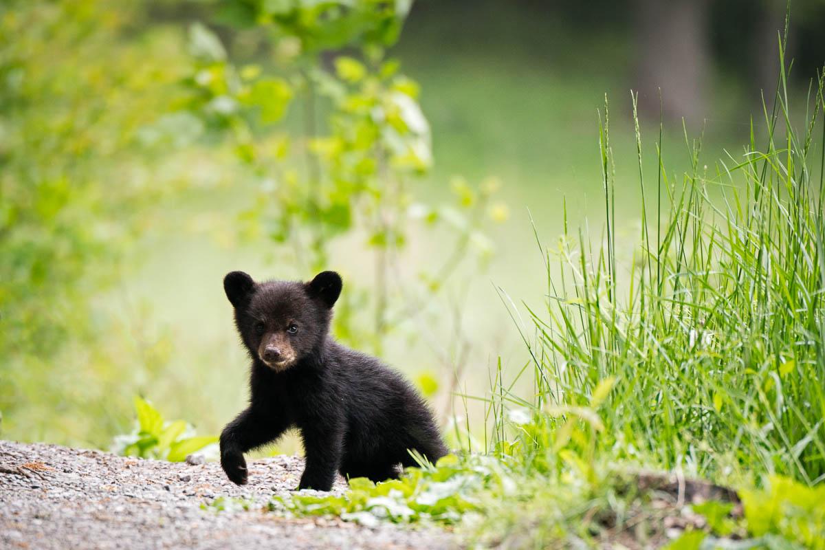 filhote de urso atropelado por ciclista
